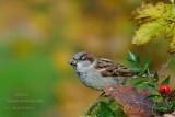 125 House Sparrow male.jpg