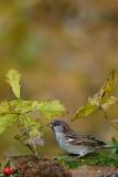 126 House Sparrow male.jpg