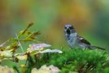 127 House Sparrow male.jpg
