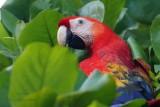 000 Scarlet Macaw.jpg