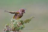 129 European Greenfinch female.jpg