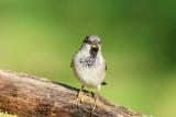 130 House Sparrow male.jpg