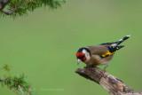 131 European Goldfinch.jpg