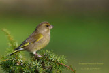 132 European Greenfinch female.jpg