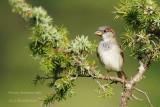 134 House Sparrow male.jpg