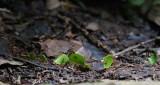 110-Fourmis-coupe-feuilles.jpg