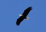 Bald Eagles 2020