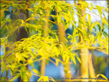 Evening Bamboo