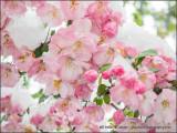 Cherry Blossom on Ice