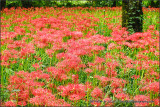 Field of Spider Lilies