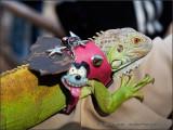 Well Dressed Iguana