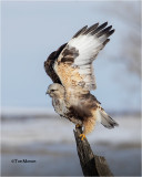 rough-legged_hawks