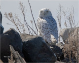 Snowy Owl (Getting late to still find one.)