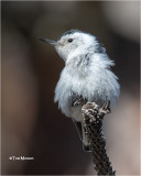 White-beasted Nuthatch