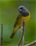MacGillivrays Warbler