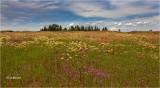 Clarkia-Buckwheat