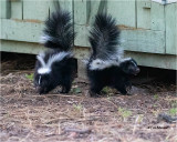 Skunks   ( I have five of these little stinkers living under my shed and we get along great)