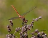 Saffron-winged Meadowhawk