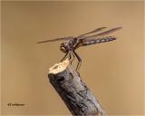 Variegated Meadowhawk