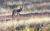 Coyote   (big crop)