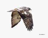 Red-tailed Hawk ( a different looking Red-tailed)
