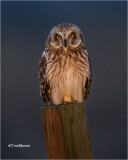 Short-eared Owl (taken in the headlights of the car)