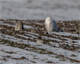 Snowy Owl (At last, found a Snowy this winter) Huge crop!!
