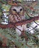 Northern Saw- whet Owl