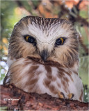 NorthernSaw-whet Owl