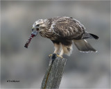 Rough-legged Hawk ( this is the insides of a Vole with fur on each end)