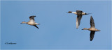 Northern Pintail's