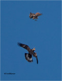 Golden Eagle-Red-tailed Hawk  ( Huge Crop)