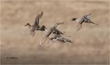 Northern Pintails, courtship flight.