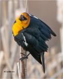 Yellow- Headed Blackbird