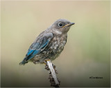 Mountain Bluebird fledgling