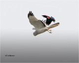 Harrier-Red-winged   (big crop)