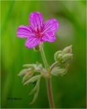 Sticky Geranium