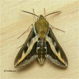 Hyles gallii - Bedstraw hawk-Moth