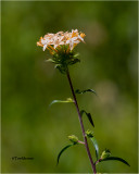 large-flowered collomia