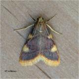 Hypsopygia costalis Moth