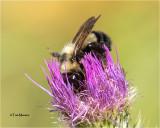 Bombus vagans-Bumble Bee