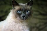 Kat-blauwe-ogen.jpg