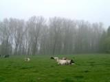 Koeien-wei15.jpg