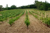 Wijngaard04.jpg