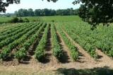 Wijngaard0828.jpg