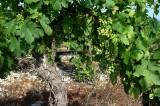 WIjnstronk-druiven136.jpg