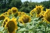 Zonnebloemen05.jpg
