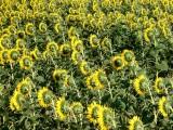 Zonnebloemen11.jpg