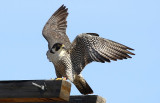 Peregrines 2020...work in progress with photos being added when possible