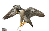 Peregrines 2020...the Year of Covid-19